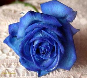 گل آبی تقدیم به آرش و همه استقلالای ها